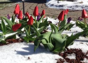 Tulips in My Front Yard
